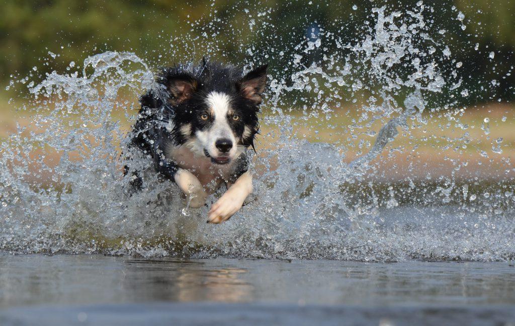Perro corriendo por el agua