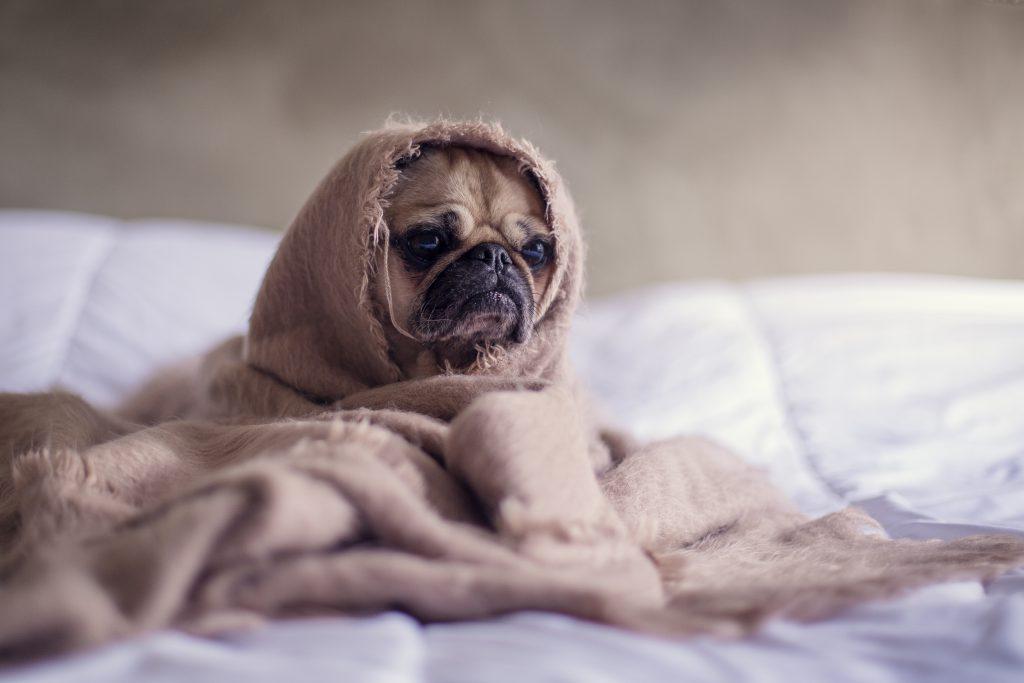 Perro en la cama tapado con una manta