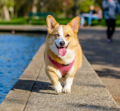 El smartwatch para perros FitBark